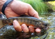 Brook Trout on Small Creek