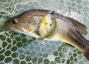largemouth bass and bluegille double