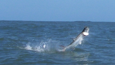Oh my!  Big Tarpon on the run!