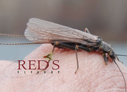 Ten Tips for the Skwala Stonefly Hatch - UPDATED